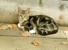 © Anastazija Stojadinovic, Tigar maca