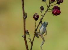 Jacky Panhuyizen ©, Hanging Frog