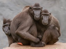 Jacky Panhuyizen ©, Staring Monkeys