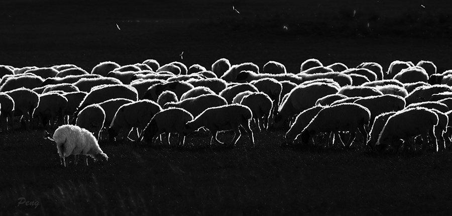 © Jiongxin Peng, Swallows-around-the-Sheep