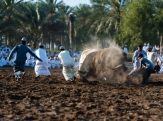 Suwaiq bullfight 4